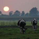 060901 Koeien en zonsondergang