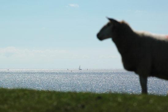Schaap op zeedijk - FrieslandStock