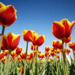 Tulpenveld bij Hindeloopen - FrieslandStock