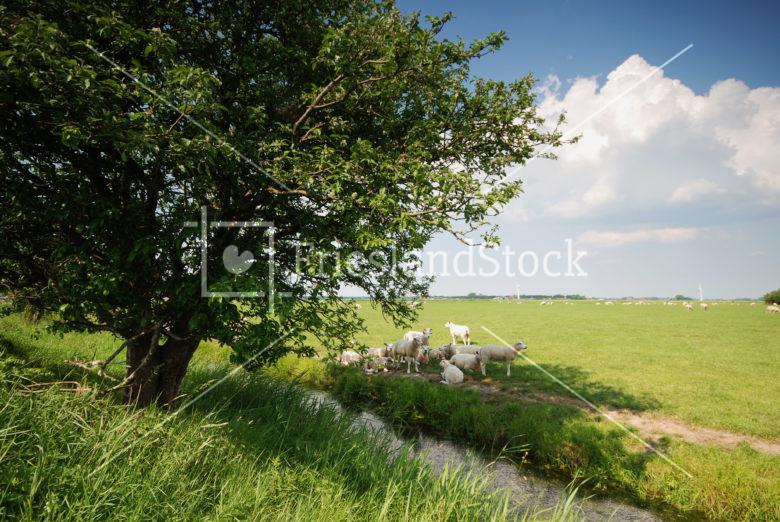 Schapen in weiland - FrieslandStock