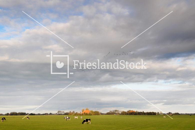 Koeien in landschap - FrieslandStock