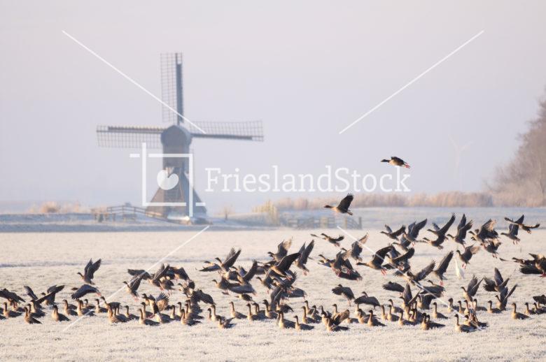 Ganzen nabij Doris Mooltsje - FrieslandStock
