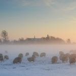 Schapen in winters weiland bij Workum - FrieslandStock
