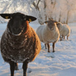 Schapen in winter - FrieslandStock