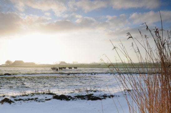 Schapen in winters landschap - FrieslandStock