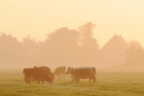 Koeien in ochtendzon - FrieslandStock