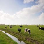 Koeien in weiland - FrieslandStock