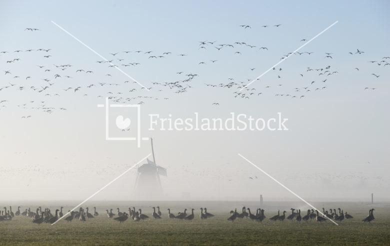 Ganzen in landschap met molen - FrieslandStock