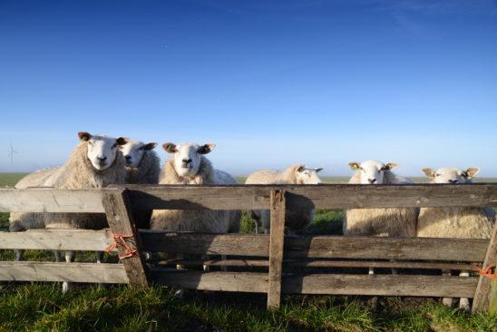 Schapen bij hek - FrieslandStock