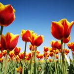080402 Tulpenvelden nabij Hindeloopen