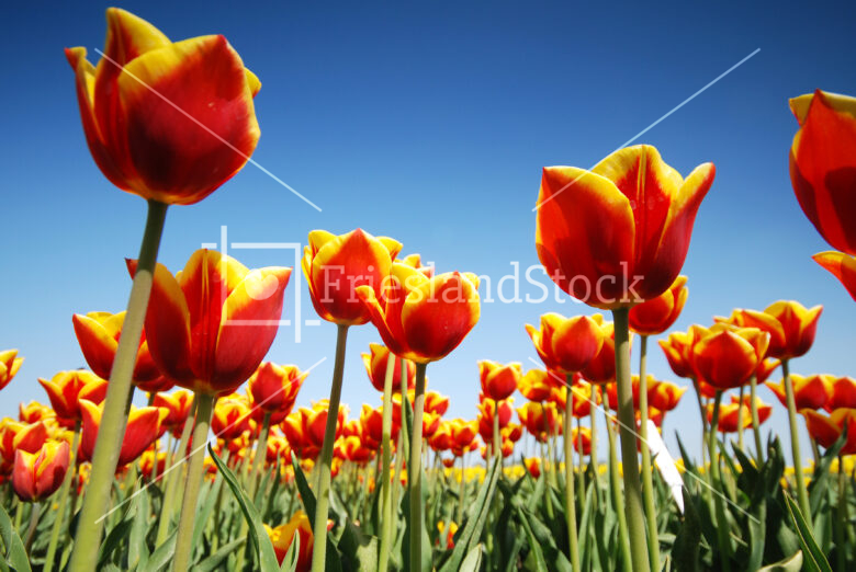 Tulpenvelden nabij Hindeloopen - FrieslandStock