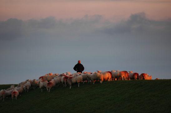 Boer met schapen op zeedijk - FrieslandStock
