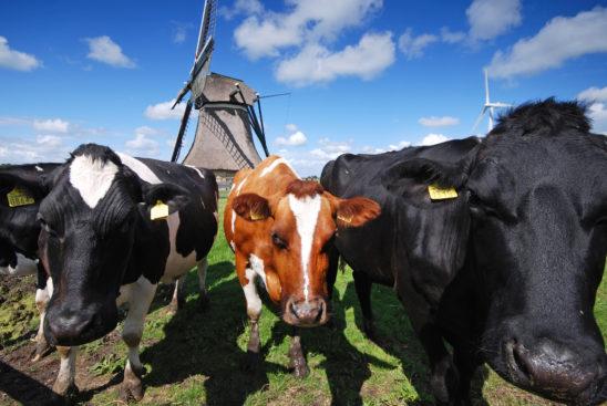 Koeien voor molen - FrieslandStock