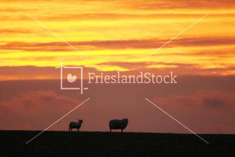 Schapen op zeedijk - FrieslandStock