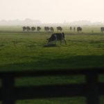 Koeien in weiland nabij Heeg - FrieslandStock