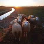 Schapen in zonsondergang - FrieslandStock