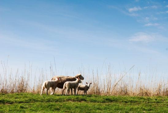 Schaap met lammetjes in voorjaar - FrieslandStock