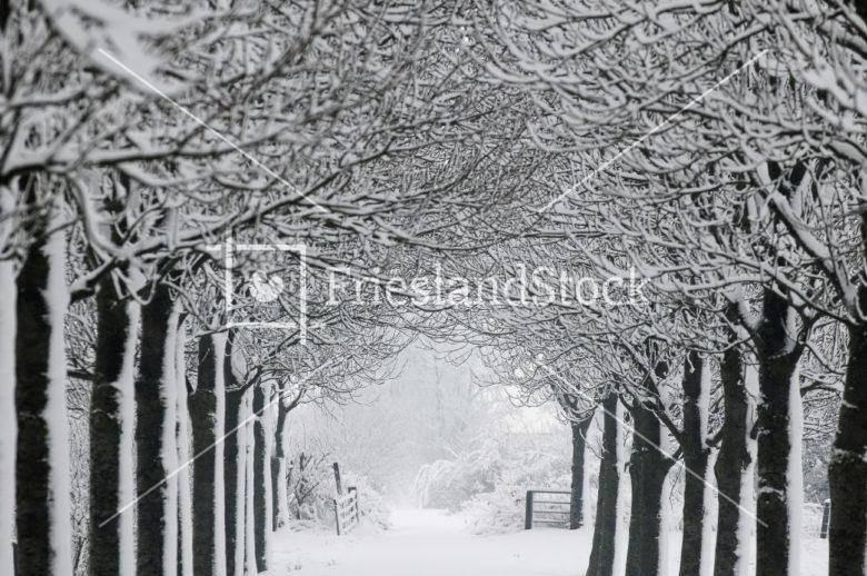 Bomenrij in winter - FrieslandStock