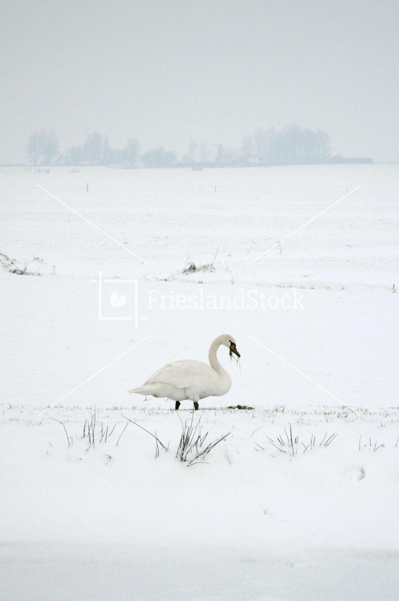 Zwaan in winters weiland - FrieslandStock