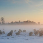 Schapen in winters weiland bij Workum - FrieslandStock