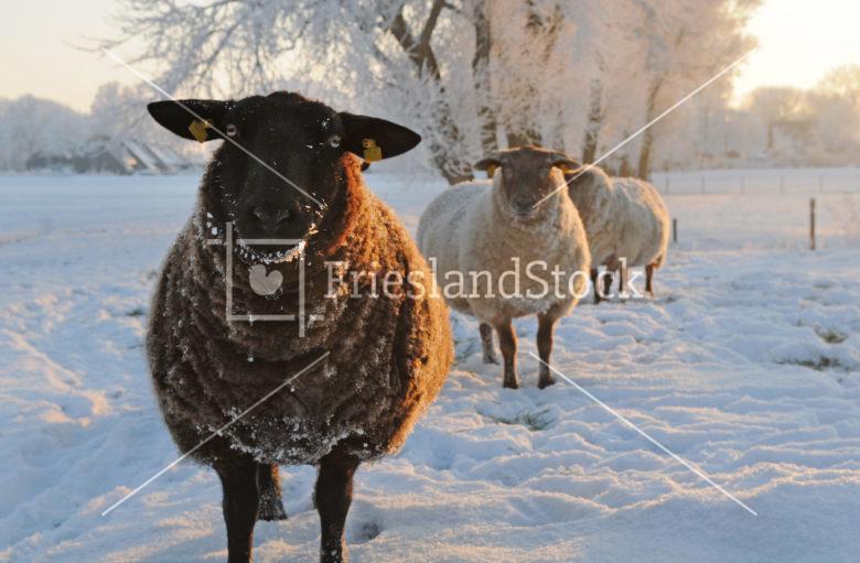 Schapen in winter - FrieslandStock