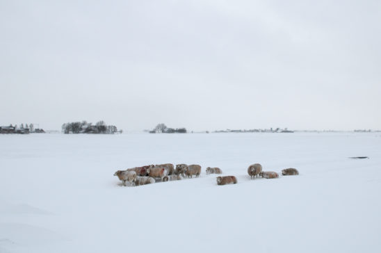 Schapen in dikke pak sneeuw - FrieslandStock