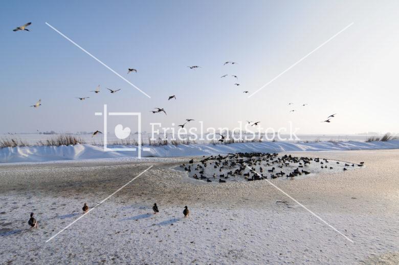 Eenden in wak - FrieslandStock