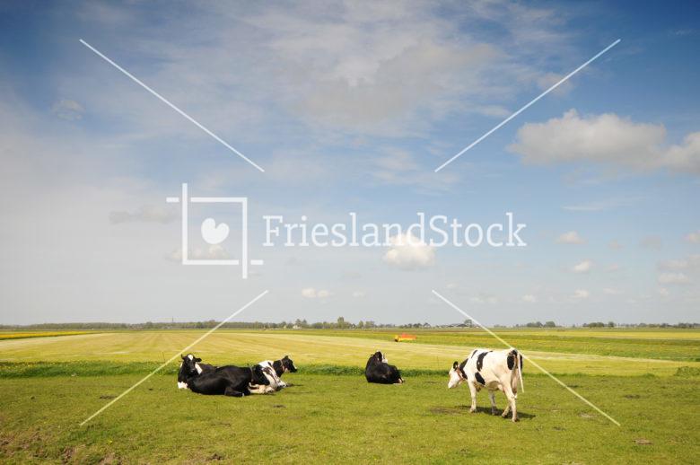 Koeien in wei - FrieslandStock