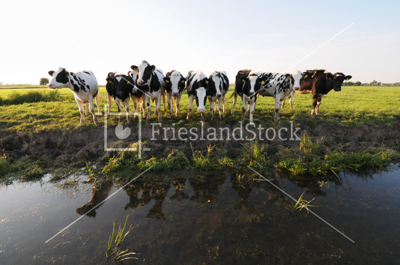 Koeien bij sloot - FrieslandStock