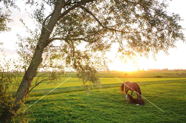 Paarden bij Abbegaasterketting - FrieslandStock