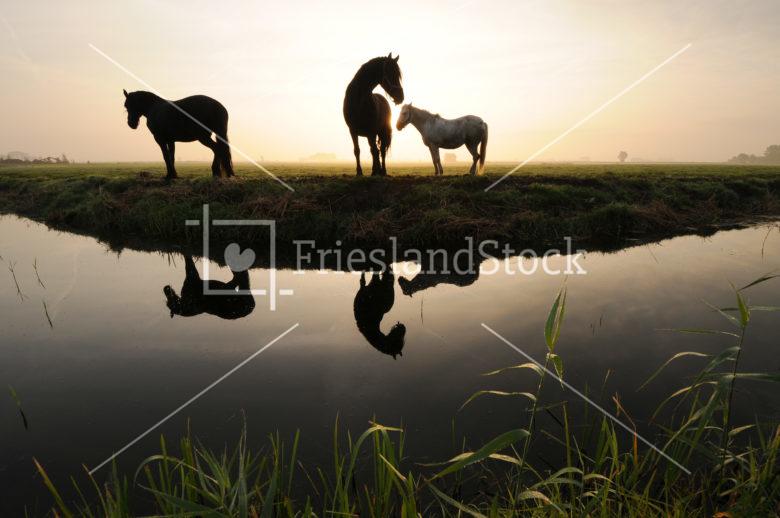 Paarden langs sloot in ochtendzon - FrieslandStock