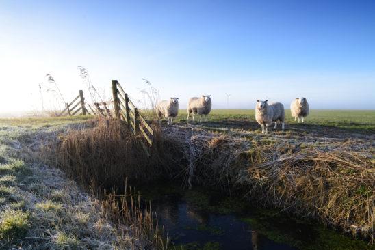 Schapen in winters weiland - FrieslandStock
