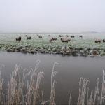 Schapen in mistig weiland - FrieslandStock