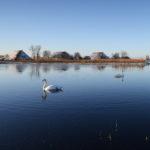 Zwanen bij Nijezijl - FrieslandStock