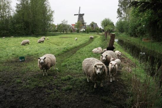 Zicht op molen De Zwaluw van Burdaard - FrieslandStock
